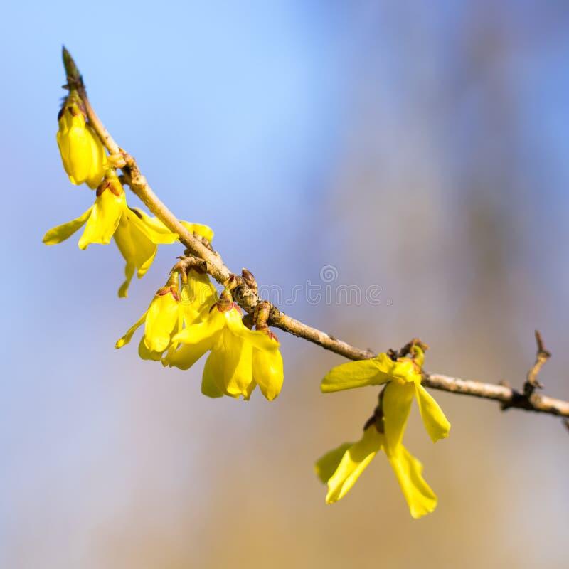 Tidig v?r f?r forsythiaflowersin Blomstra forsythia i frukttr?dg?rden Bokeh arkivfoto