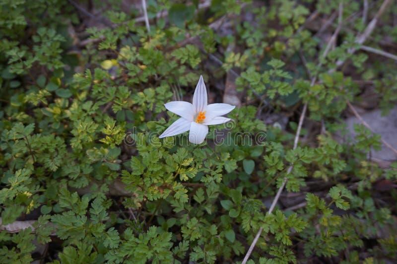 Tidig vårblomma i skogen: vit krokus arkivbild