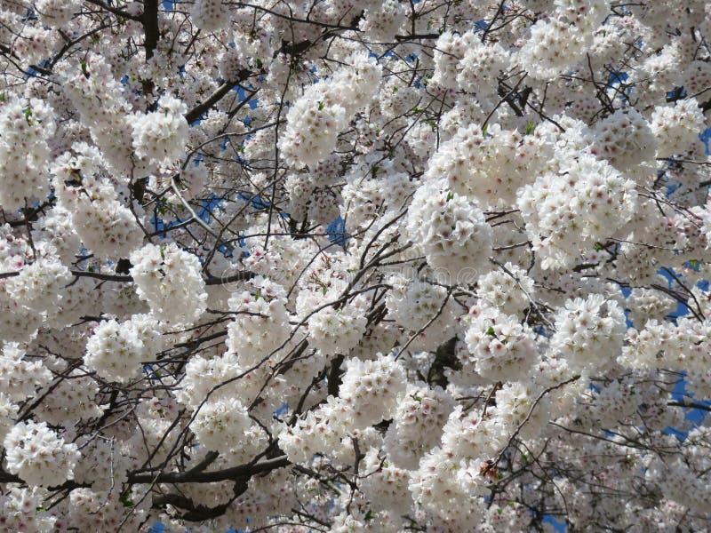 Tidiga April Fluffy Cherry Blossom Bloom i vår royaltyfria foton