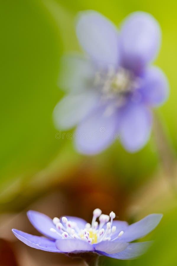 Tidiga blått fjädrar liverleaf eller liverworten för lös blomma arkivfoto