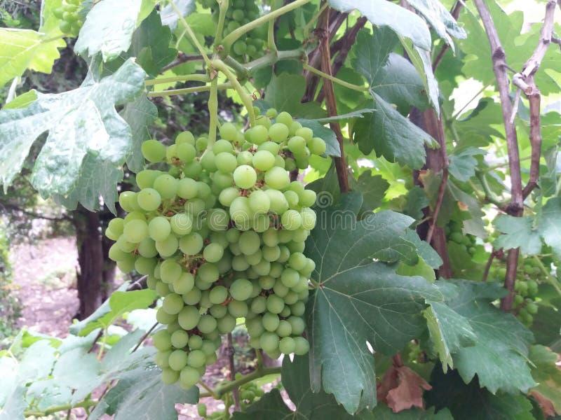 Tidiga druvor på en vingård arkivbild