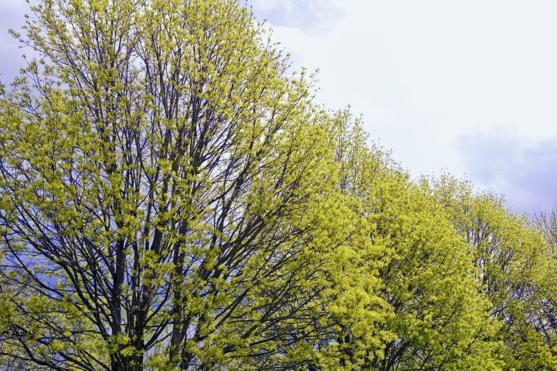 tidiga fjädertrees royaltyfri foto