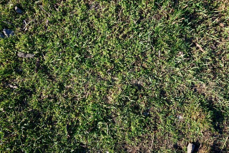 Tidigt grönt vårgräs på gräsmattan royaltyfri bild