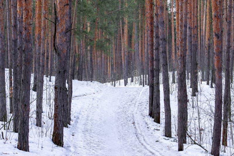 Tidigt vårlandskap av det insnöat pinjeskoglandskapet i Ryssland arkivfoto