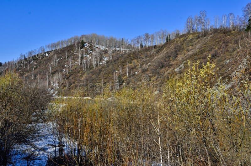 Tidigt vårlandskap på bergflodbanken med att blomma pussypilen royaltyfri foto
