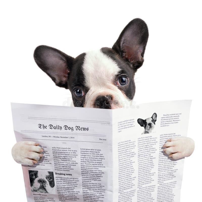 Tidning för valp för fransk bulldogg läs- arkivfoton