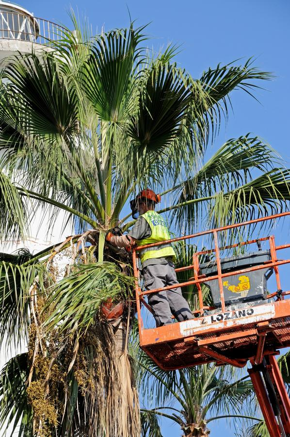 Tidying a palm tree, Marbella, Spain. royalty free stock photography