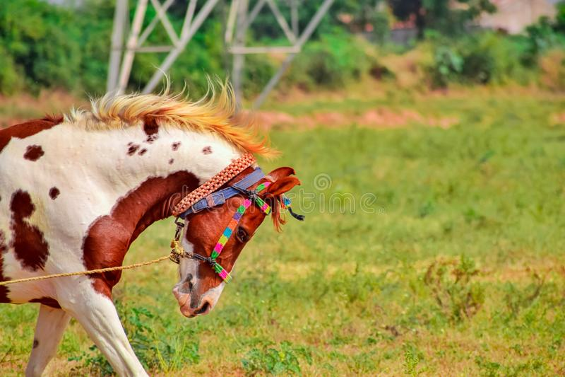 Tied with rope a horse,Tied with rope a Indian horse,close up view of asian horse,brown horse running in park,brown/white horse. Galloping on horse farm show royalty free stock photo