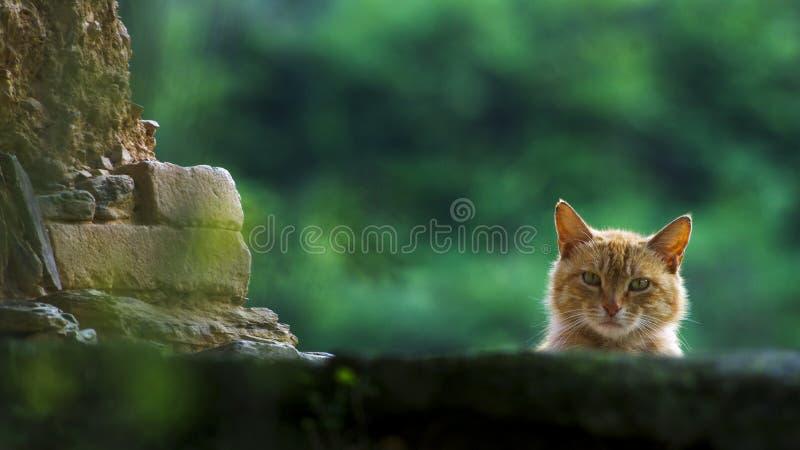 Tief angestarrt durch eine orange Katze lizenzfreie stockfotos