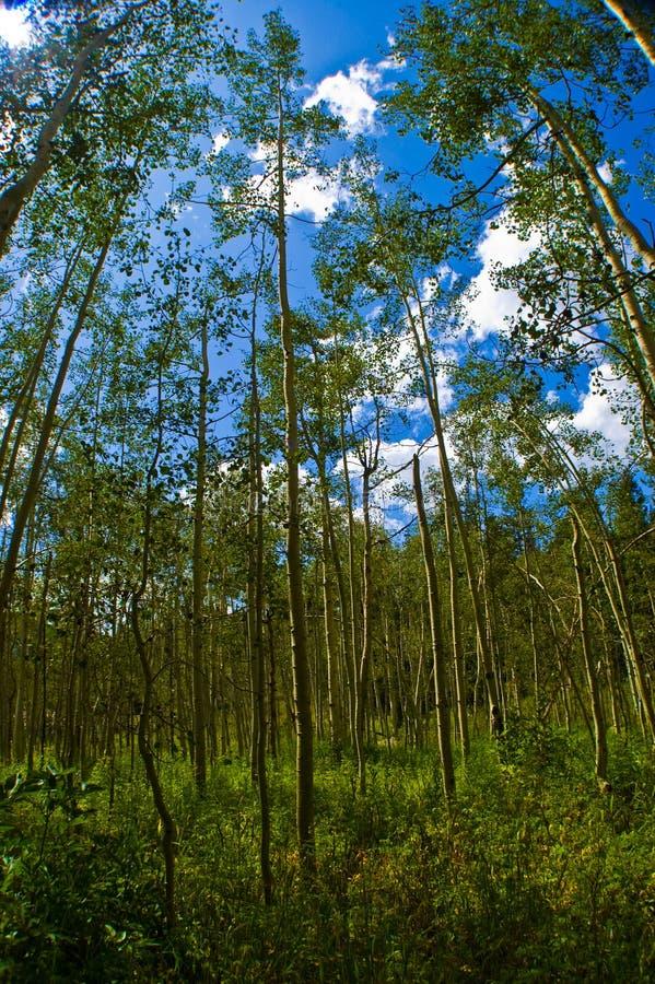 Tief in Aspen Forests mit großem dünnem Aspen Trees für immer stockfoto