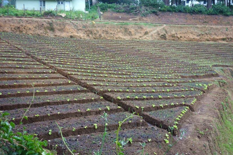 Tiefe terassenförmig angelegte Hochbeet-Landwirtschafts-Felder stockfotografie
