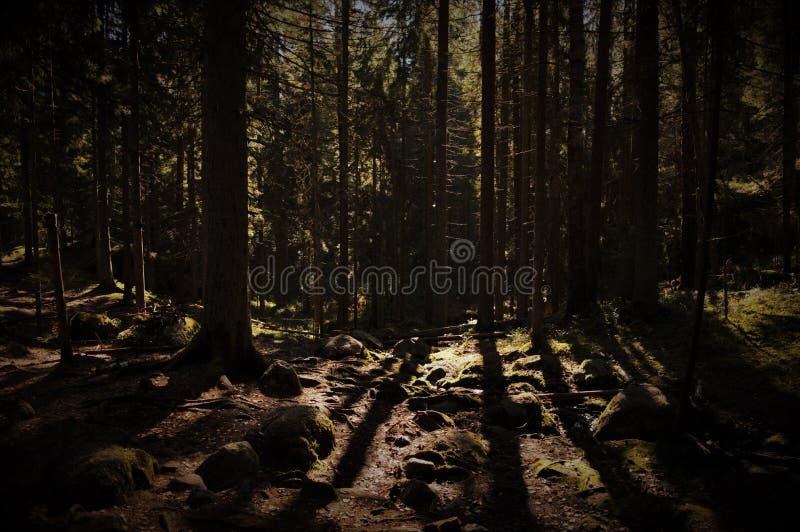 Tiefer dunkler Wald mit der Sonne, die durch scheint stockbilder