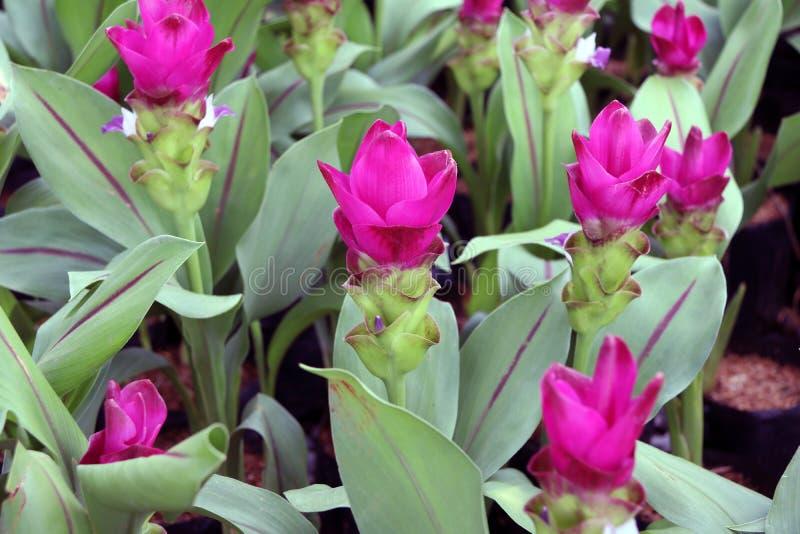 Tiefrosa Siam Tulip auf den Kindertagesstättenanlagen Kurkuma alismatifolia oder Sommertulpe ist ein tropische Betriebseingeboren stockfoto