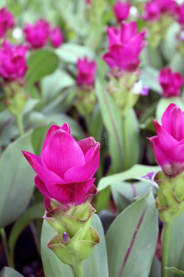 Tiefrosa Siam Tulip auf den Kindertagesstättenanlagen Kurkuma alismatifolia oder Sommertulpe ist ein tropische Betriebseingeboren lizenzfreie stockfotografie