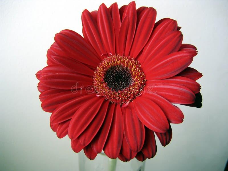 Tiefroter Gerbera-Blumen-Draufsicht-Abschluss oben auf grünem Hintergrund lizenzfreies stockfoto