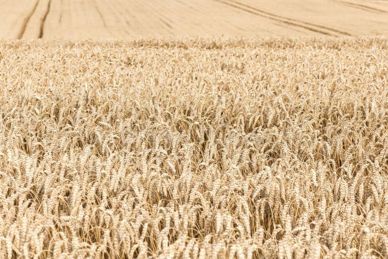 Tiempo de cosecha - maíz maduro. fotos de archivo libres de regalías