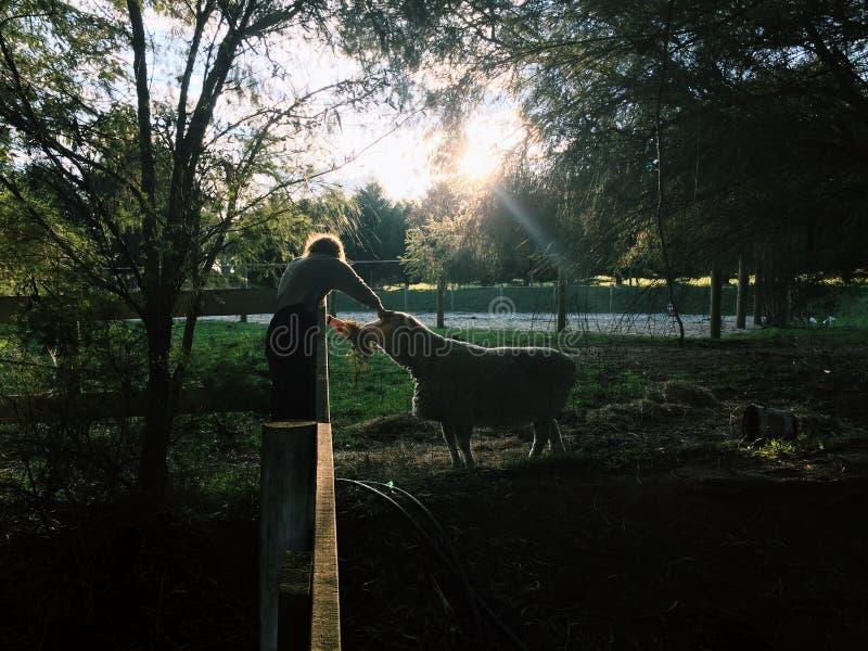 Tiempo de desayuno para las ovejas fotos de archivo libres de regalías