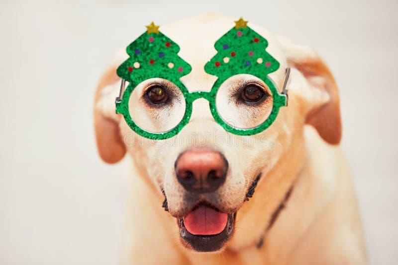 Tiempo de la Navidad con el perro El retriver de Labrador está llevando los vidrios divertidos del árbol de navidad imagenes de archivo