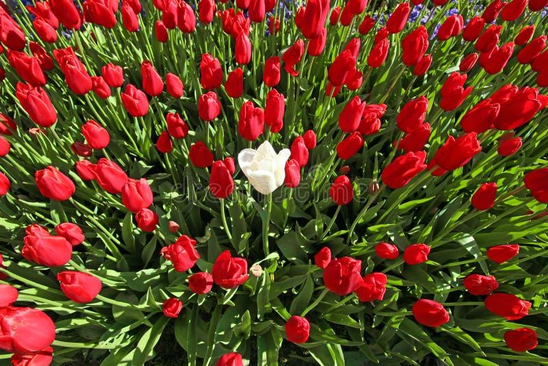 Tiempo de primavera para Estambul abril de 2019, Tulip Field, tulipanes coloridos, tulipán blanco en el centro del campo colorid imagen de archivo libre de regalías