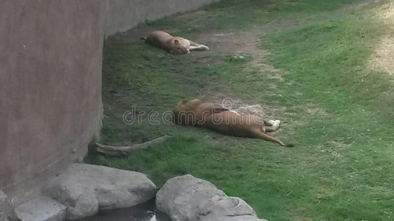 Tiempo durmiente de los leones foto de archivo libre de regalías