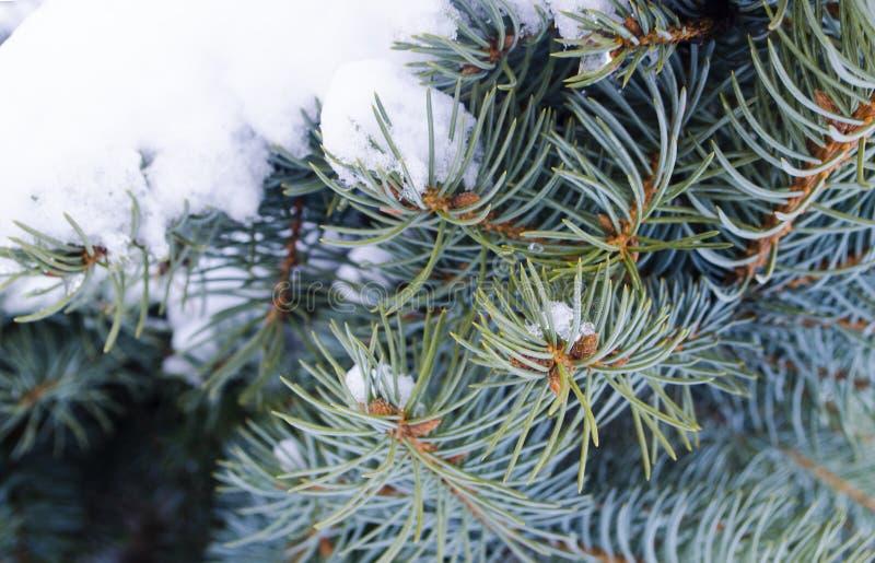 Tiempo frío Ramas coníferas congeladas en el invierno blanco Paisaje escarchado del invierno en bosque nevoso fotos de archivo libres de regalías
