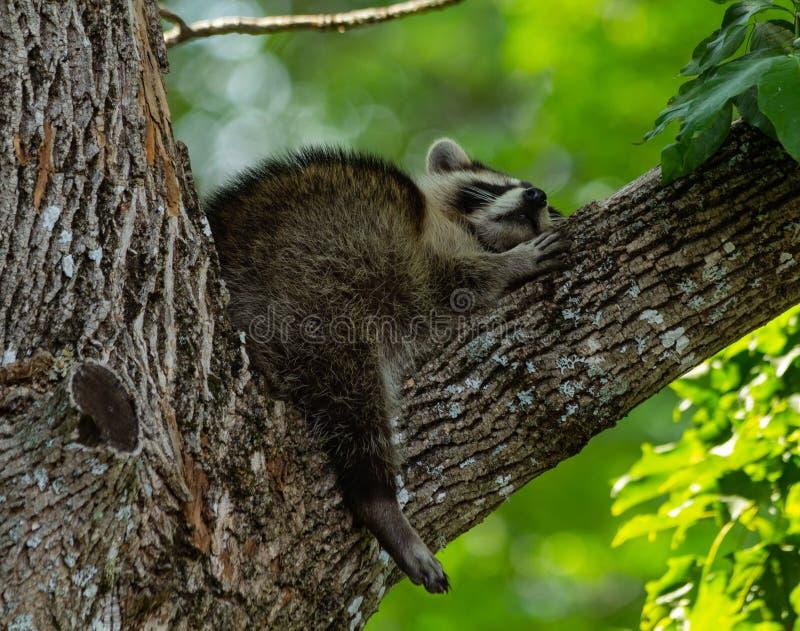 Tiempo soñoliento del mapache del bebé fotos de archivo