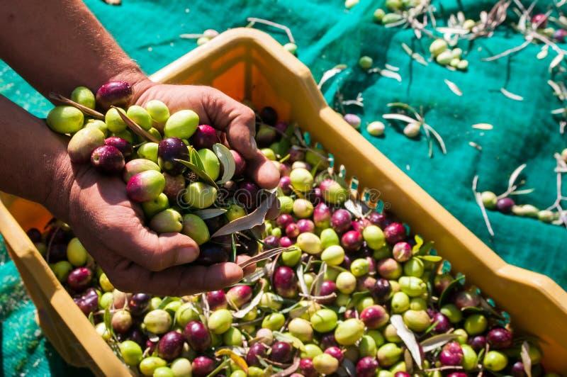 Tiempo verde oliva de la cosecha fotografía de archivo libre de regalías