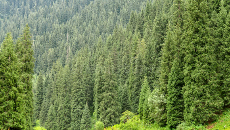 Tien Shan Firs Background royalty free stock photo