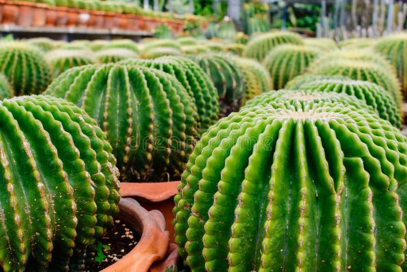Tienda del árbol del cactus con la cría en la casa imagen de archivo libre de regalías
