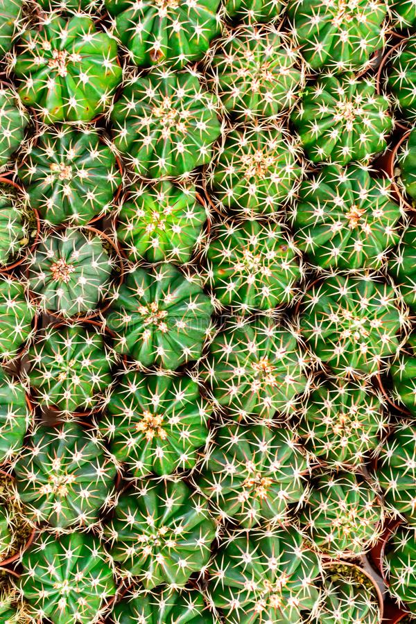 Tienda del árbol del cactus con la cría en la casa para la venta imágenes de archivo libres de regalías