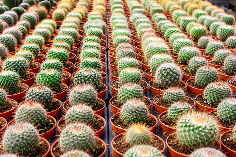 Tienda del árbol del cactus con la cría en la casa para la venta foto de archivo