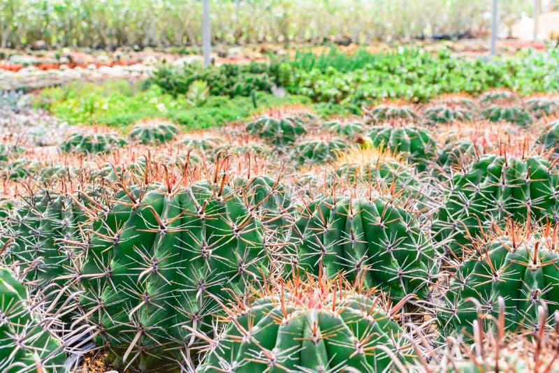 Tienda del árbol del cactus con la cría en la casa para la venta imagen de archivo