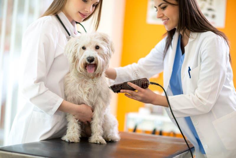Tierärzte, die Teil Haar rasieren und maltesischen Hund für vorbereiten lizenzfreies stockfoto