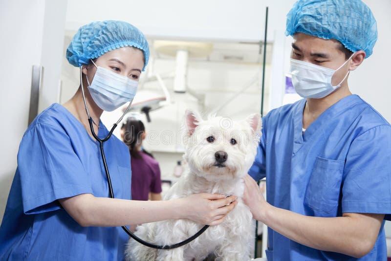Tierärzte mit chirurgischen Masken Hund überprüfend stockfotos