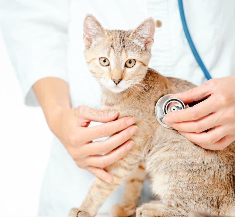 Tierärztliche Überprüfung mit Stethoskop ein Kätzchen lizenzfreies stockbild