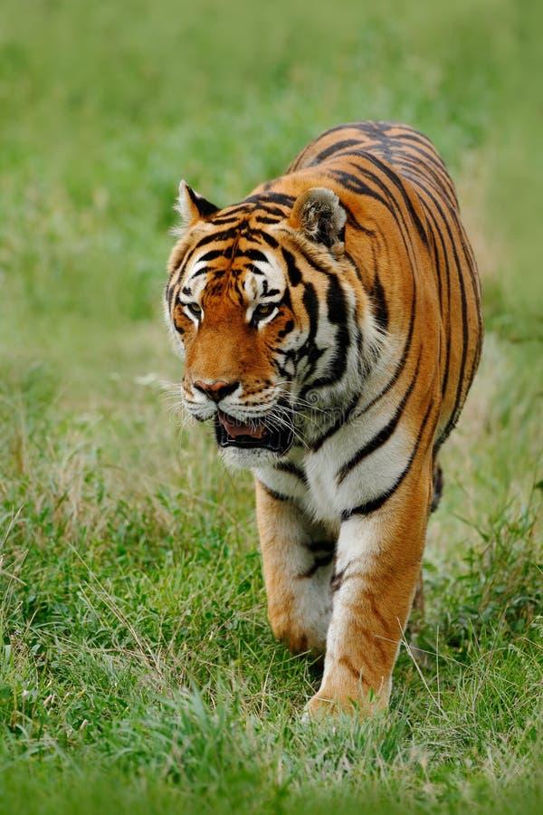 Tier des Opfers Amur oder des sibirischen Tigers, der Pantheratigris-altaica, gehend in das Gras lizenzfreies stockbild