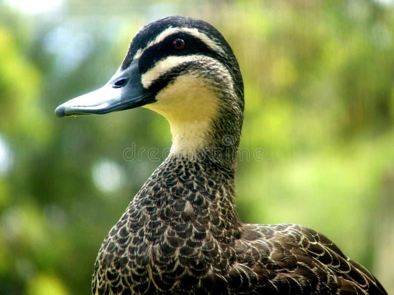 Tier - Ente mit unscharfem Hintergrund stockbild