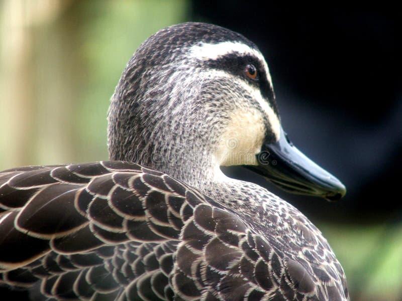Tier - Ente mit unscharfem Hintergrund lizenzfreie stockbilder