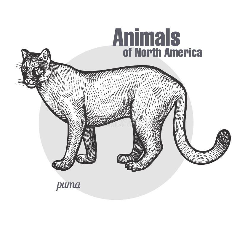 Tier von Nordamerika-Puma lizenzfreie abbildung