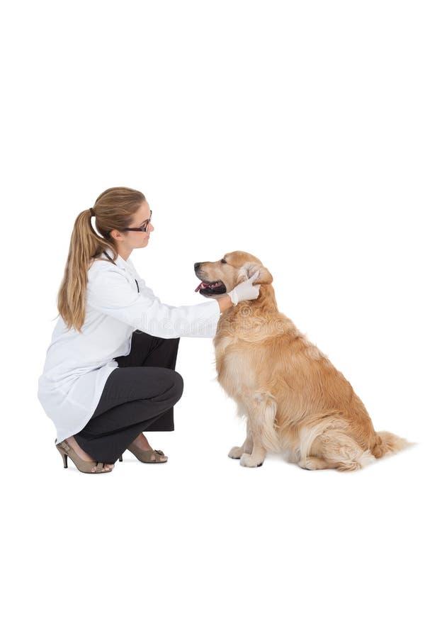 Tierarzt, der auf einem Labrador überprüft stockbilder