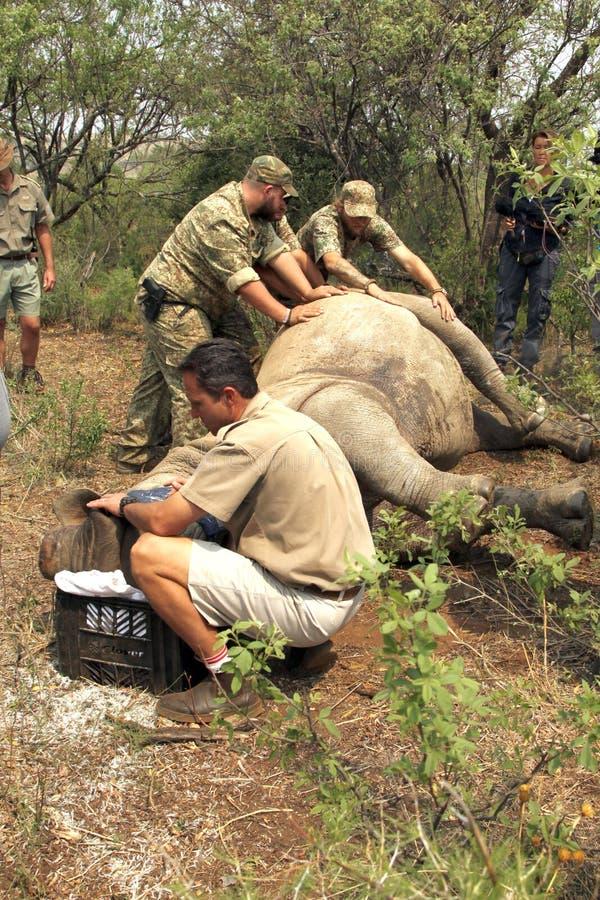 Tierarzt, der auf Zustand des geschossenen Nashorns überprüft stockbild