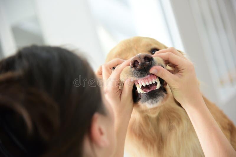 Tierarzt, der die Zähne des Hundes überprüft lizenzfreie stockbilder