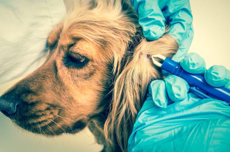 Tierarzt, der eine Zecke vom Cocker spaniel-Hund entfernt lizenzfreies stockfoto