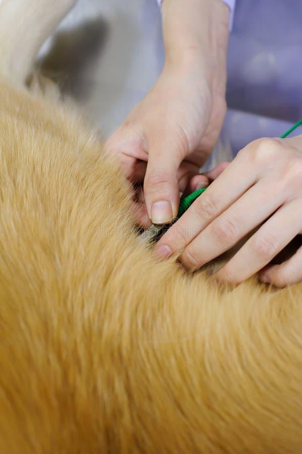 Tierarzt, der nettes golden retriever überprüft stockfotografie