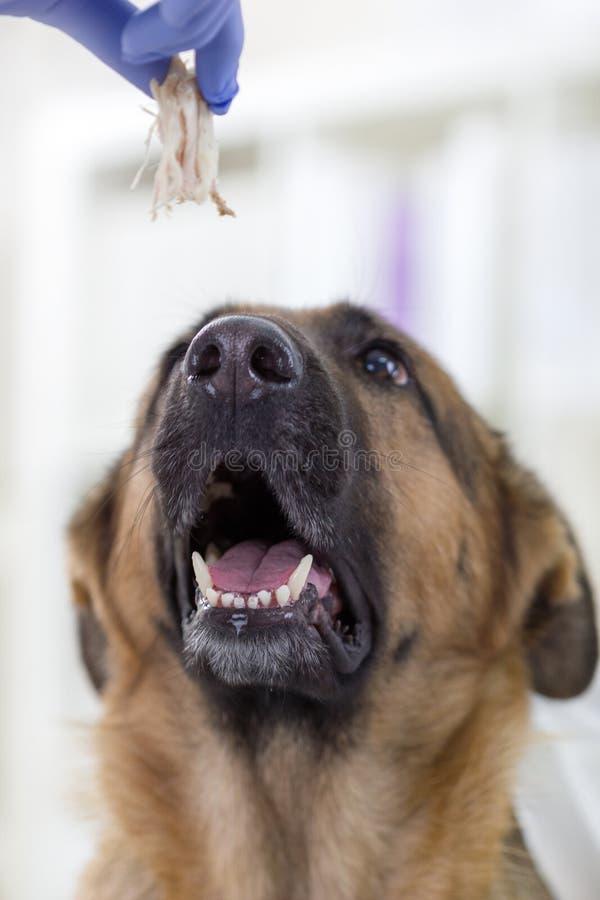 Tierarzt gibt ein Stück des Schäferhunds des Fleisches stockbild