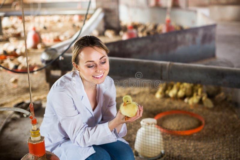Tierarzt mit Entlein auf Bauernhof stockfoto