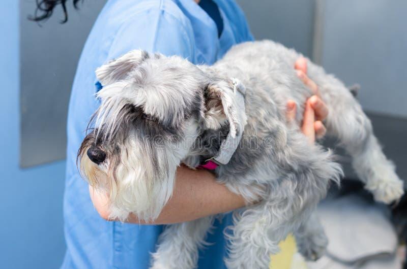 Tierarzt transportiert einen Schnauzer Arme vor der Veterinärberatung stockfotografie