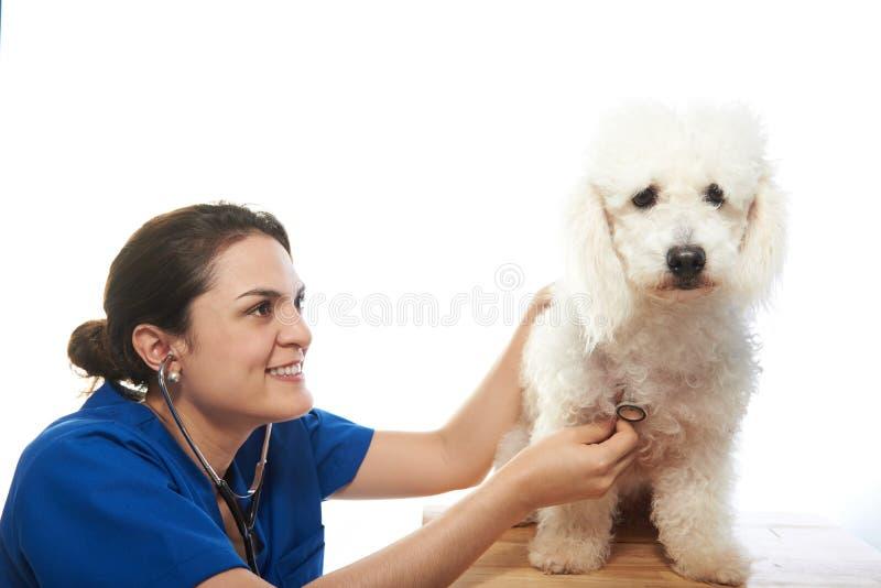 Tierarztmädchen, das Hundeherzschlag überprüft lizenzfreie stockbilder