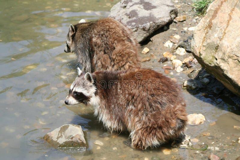 Download Tiere stockbild. Bild von raccoon, erforschen, wildnis - 862933