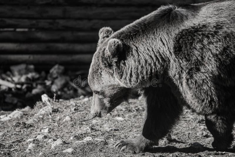 Tiere auf der Suche nach Lebensmittel, der Bär bereitet sich für seinen tiefen Winter vor stockfotos